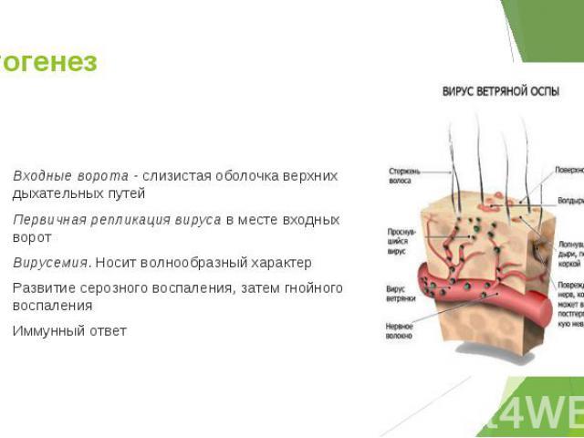 Входные ворота - слизистая оболочка верхних дыхательных путей Входные ворота - слизистая оболочка верхних дыхательных путей Первичная репликация вируса в месте входных ворот Вирусемия. Носит волнообразный характер Развитие серозного воспаления, зате…