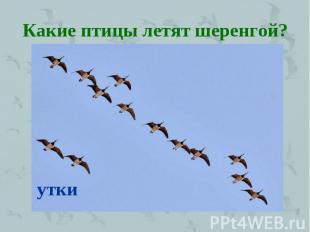 летят перелетные птицы