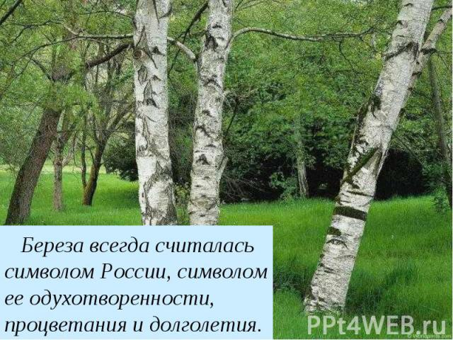 Береза Береза постоянно считалась символом России, символом ееодухотворенности, процветания идолголетия.