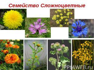 Семейство Злаки (Мятликовые).  Назовите ветроопыляемые растения. .  Как вы их узнали?