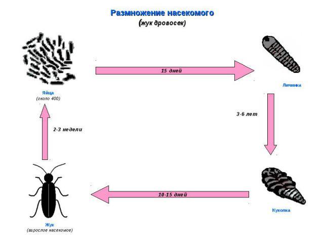 Размножение насекомого(жук