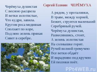 Сергей Есенин Черёмуха душистаяС весною расцвелаИ ветки золотистые,Что кудри, за