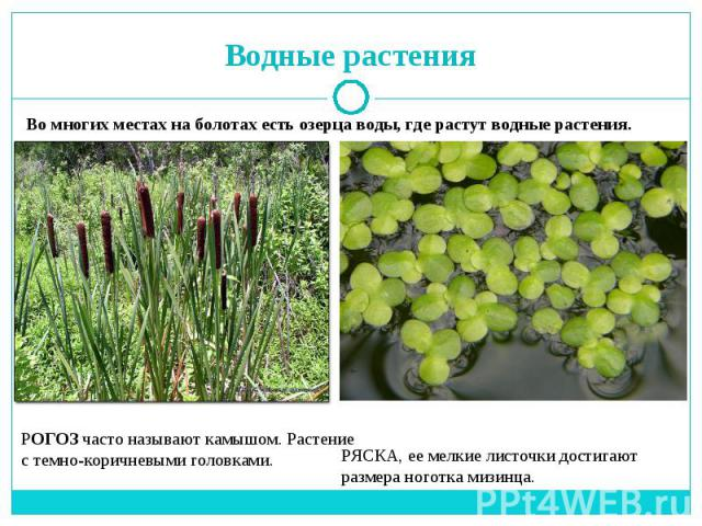 растения на болоте рисунок