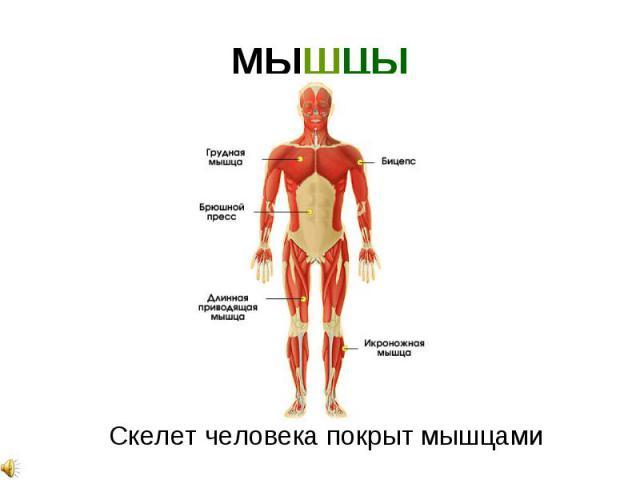 скелет человека для детей картинка