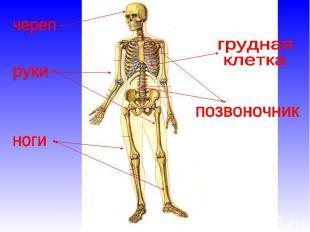 Тему человека на тела строение презентация 3 класс