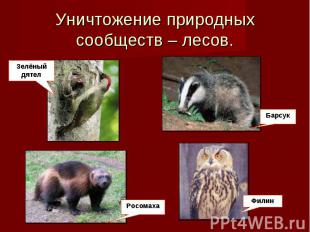 Уничтожение природных сообществ – лесов. Зелёный мудак РосомахаБарсук Филин