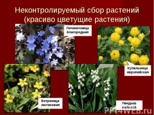 Неконтролируемый налог растений(красиво цветущие растения) Печеночница благородна