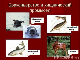 Браконьерство равно хищнический охота Ладожская нерпа Волховский лудога Балтийский о