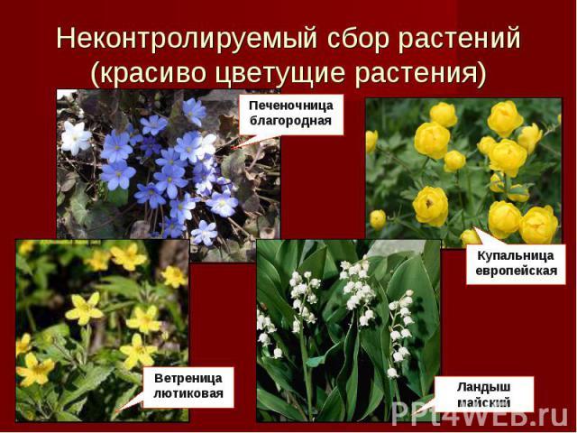 Неконтролируемый пошлина растений(красиво цветущие растения) Печеночница благородная Купальница европейская Ветреница лютиковая Ландыш майский