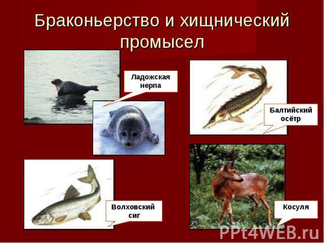 Браконьерство равно хищнический охота Ладожская нерпа Волховский белорыбица Балтийский осётр Косуля