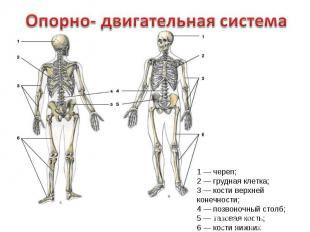 познакомить дошкольника со строением тела