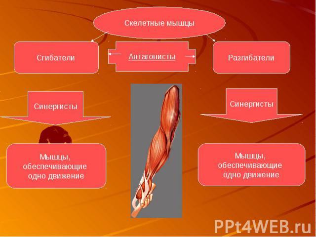 Функции височных мышц синергисты или антагонисты
