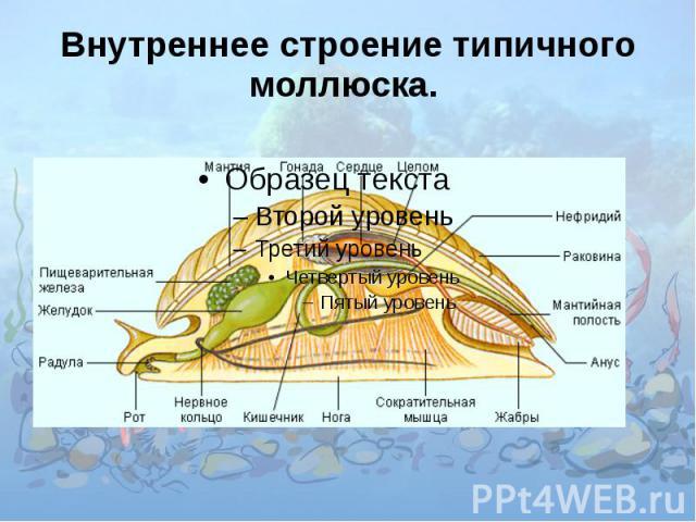 Как связано строение моллюсков с их образом