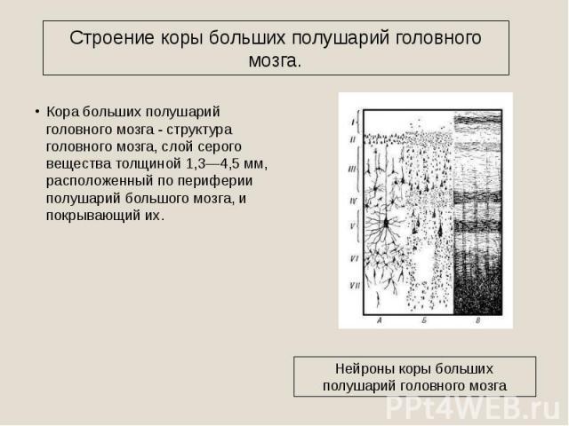 Строение коры больших полушарий головного мозга. Кора больших полушарий головного мозга - структура головного мозга, слой серого вещества толщиной 1,3—4,5 мм, расположенный по периферии полушарий большого мозга, и покрывающий их. Нейроны коры больши…