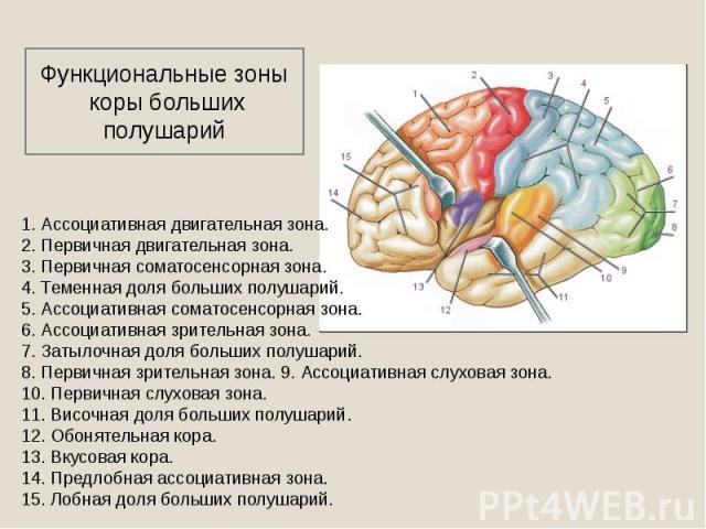 Функциональные зоны коры больших полушарий 1. Ассоциативная двигательная зона. 2. Первичная двигательная зона. 3. Первичная соматосенсорная зона. 4. Теменная доля больших полушарий. 5. Ассоциативная соматосенсорная зона. 6. Ассоциативная зрительная …