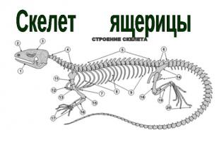 Скелет ящерицы