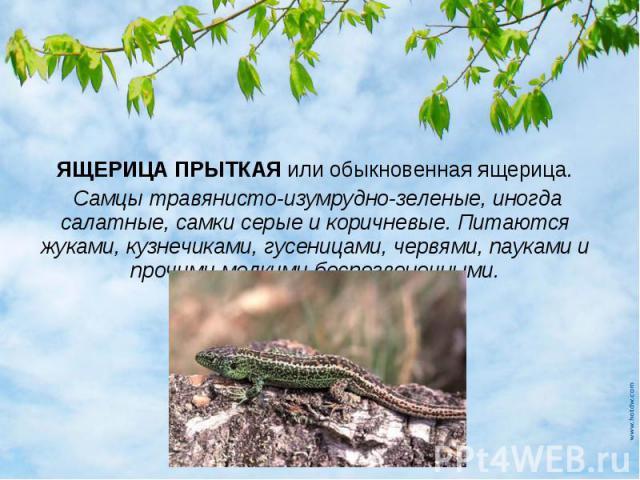 Чем питаются ящерица обыкновенная в домашних условиях