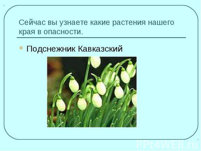 подснежник кавказский  и описание