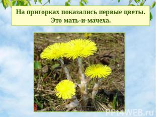 На пригорках показались первые цветы. Это мать-и-мачеха.