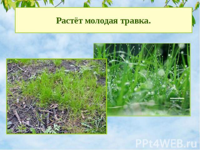 Растёт молодая травка.