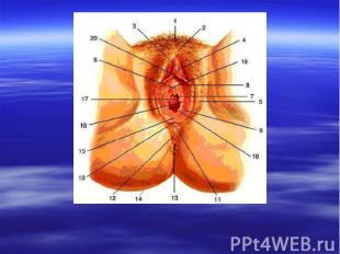 Большие половые органы женские 45