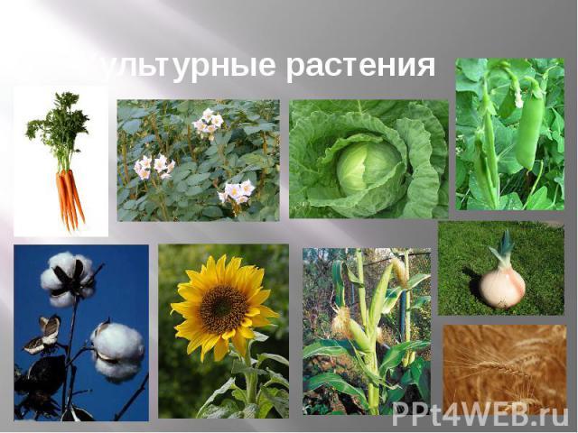 картинки культурных растений поля