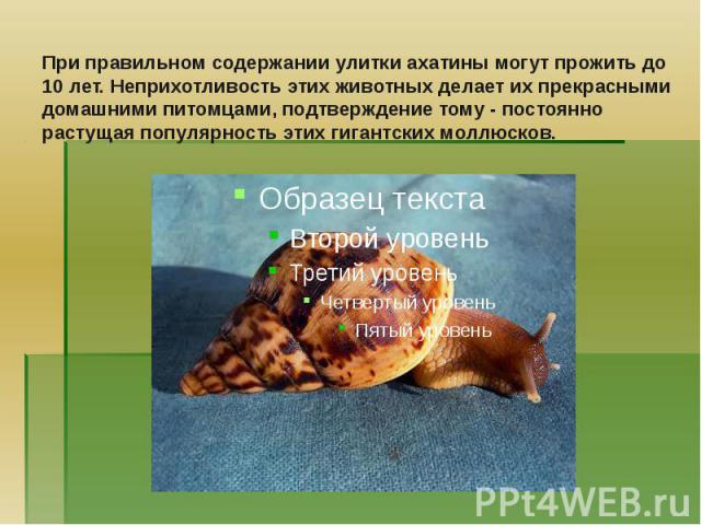 Содержание в домашних условиях улиток ахатины