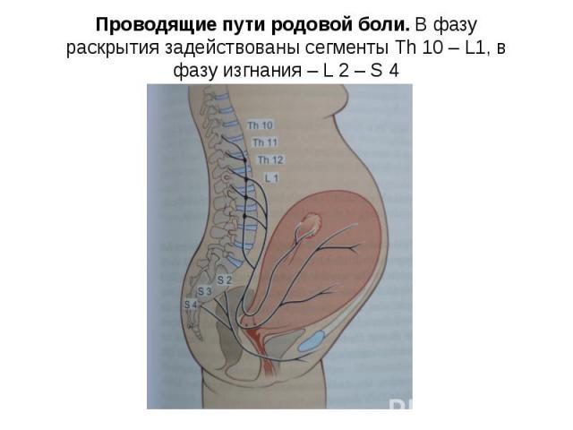 Проводящие пути родовой боли. В фазу раскрытия задействованы сегменты Th 10 – L1, в фазу изгнания – L 2 – S 4