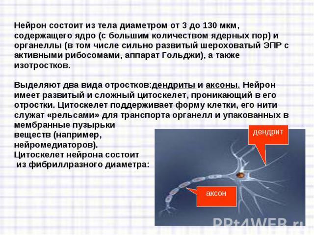Нейрон рецепторный