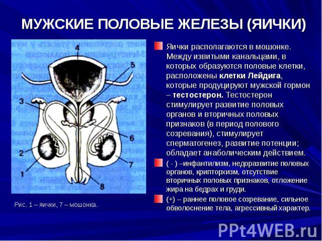 umenshenie-razmera-yaichek-gipogonadizm-spermatogenez