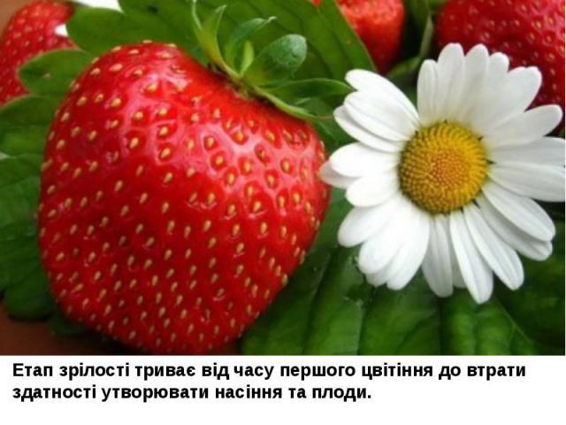 Етап зрілості триває від часу першого цвітіння до втрати здатності утворювати насіння та плоди.