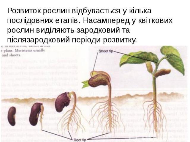 Розвиток рослин відбувається у кілька послідовних етапів. Насамперед у квіткових рослин виділяють зародковий та післязародковий періоди розвитку. Розвиток рослин відбувається у кілька послідовних етапів. Насамперед у квіткових рослин виділяють зарод…