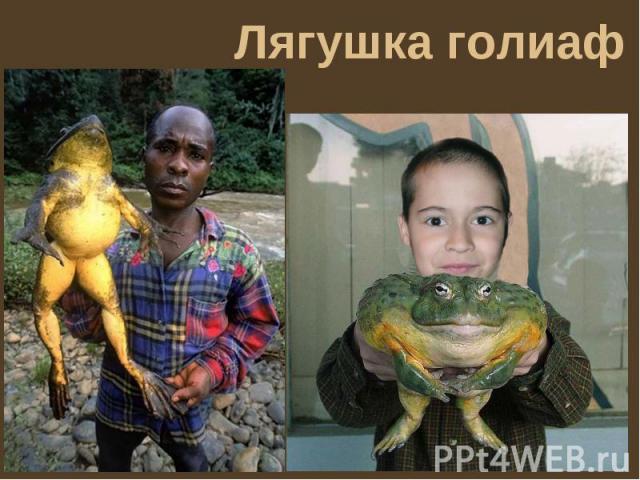 Все о лягушках в домашних условиях - новости ставрополя сегодня последние криминальные