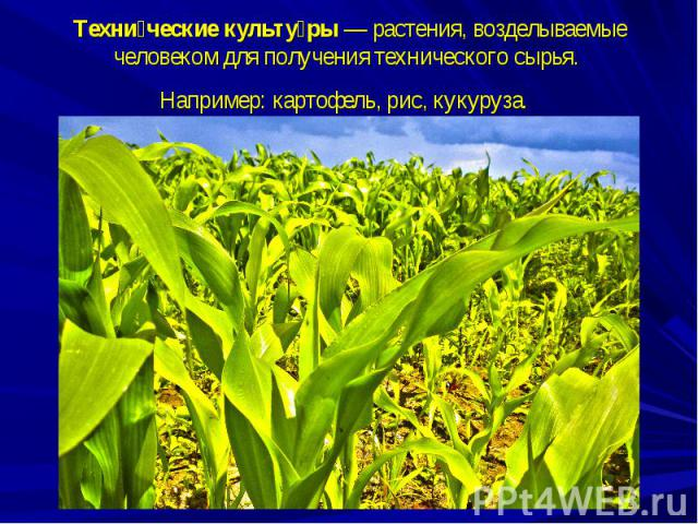 Технические культуры—растения, возделываемые человеком для получения технического сырья. Например:картофель, рис, кукуруза.