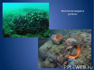 Моллюски мидии и рапаны