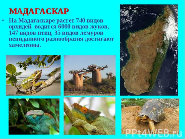 На Мадагаскаре растет 740 видов орхидей, водится 6000 видов жуков, 147 видов птиц, 35 видов лемуров невиданного разнообразия достигают хамелеоны. На Мадагаскаре растет 740 видов орхидей, водится 6000 видов жуков, 147 видов птиц, 35 видов лемуров нев…