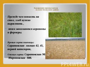 Выращивание зерновых культур на полях Энгельсского района Прежде чем попасть на