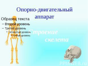 Опорно-двигательный аппарат Строение скелета