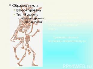 В строении скелета позвоночных животных и человека много общего - они построены