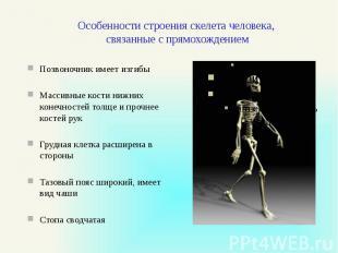 Особенности строения скелета человека, связанные с прямохождением Позвоночник им
