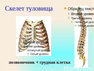 Скелет туловища позвоночник + грудная клетка