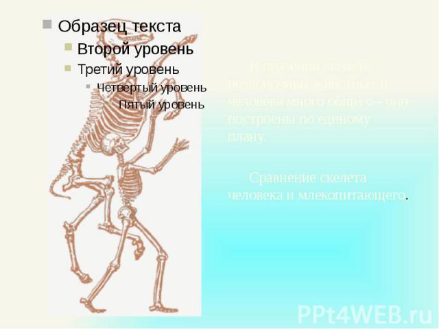 В строении скелета позвоночных животных и человека много общего - они построены по единому плану. В строении скелета позвоночных животных и человека много общего - они построены по единому плану. Сравнение скелета человека и млекопитающего.