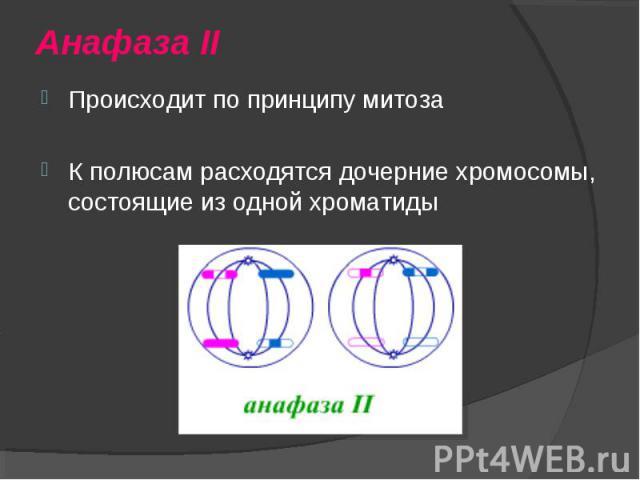 Происходит по принципу митоза Происходит по принципу митоза К полюсам расходятся дочерние хромосомы, состоящие из одной хроматиды