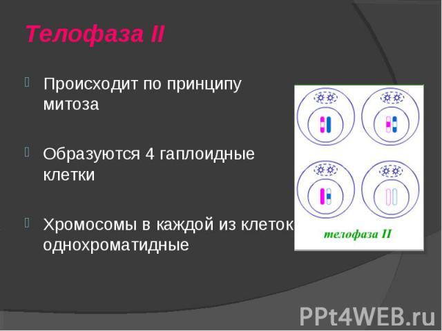 Происходит по принципу митоза Происходит по принципу митоза Образуются 4 гаплоидные клетки Хромосомы в каждой из клеток однохроматидные
