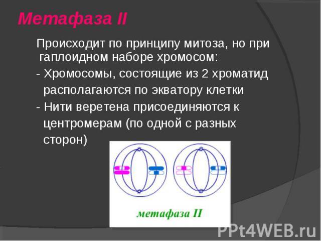 Происходит по принципу митоза, но при гаплоидном наборе хромосом: Происходит по принципу митоза, но при гаплоидном наборе хромосом: - Хромосомы, состоящие из 2 хроматид располагаются по экватору клетки - Нити веретена присоединяются к центромерам (п…