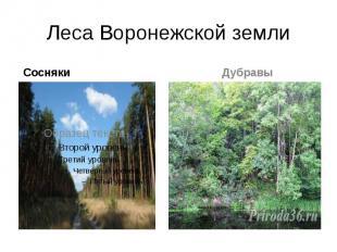 Леса Воронежской земли Сосняки
