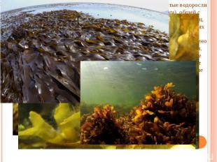 C другой стороны, динофитовые, диатомовые, бурые и золотистые водоросли находятс