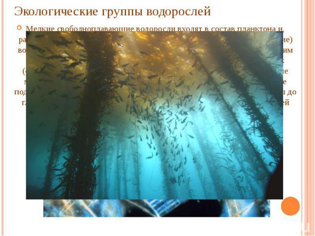 Экологические группы водорослей Мелкие свободноплавающие водоросли входят в состав планктона и, развиваясь в больших количествах, вызывают «цветение» (окрашивание) воды. Бентосные водоросли прикрепляются ко дну водоёма или к другим водорослям. Есть …