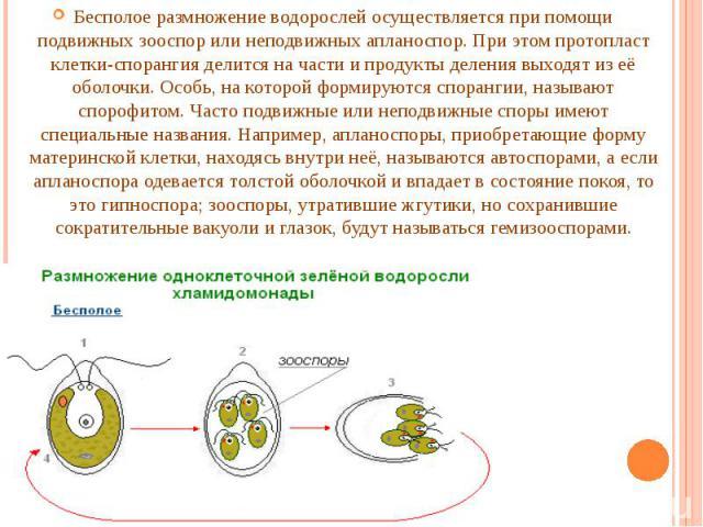 Бесполое размножение водорослей осуществляется при помощи подвижных зооспор или неподвижных апланоспор. При этом протопласт клетки-спорангия делится на части и продукты деления выходят из её оболочки. Особь, на которой формируются спорангии, называю…