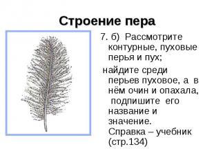 Строение пера 7. б) Рассмотрите контурные, пуховые перья и пух; найдите среди пе